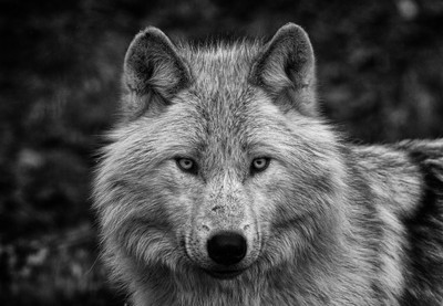 Grey Wolf stare
