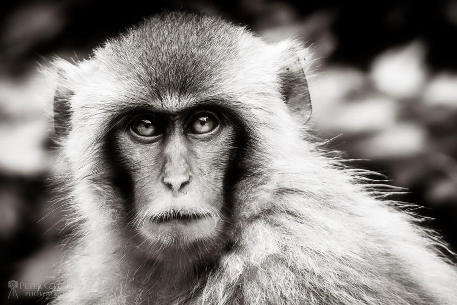 Macaque Snow Monkey Black/White