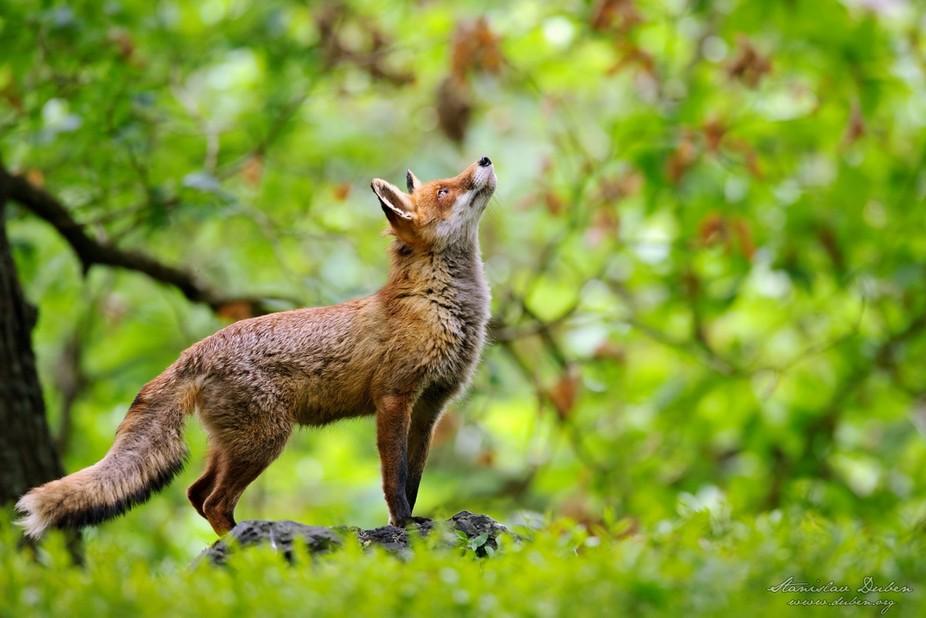 Fox from fairytale