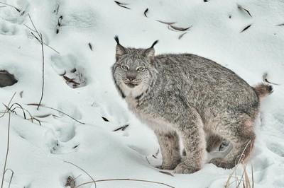 Midwinter Lynx