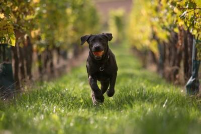 Enno, the apple retrieving pup