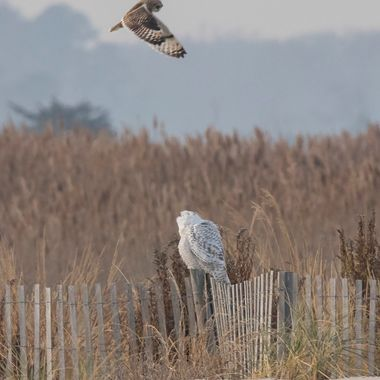 Lucky enough to shoot the snow owl at about the time the short-eared owls were out to hunt; I noticed something harassing the snowy - it was the short -eared. I was so far away I couldn't tell what it was until I got home. two rare birds on one shot!