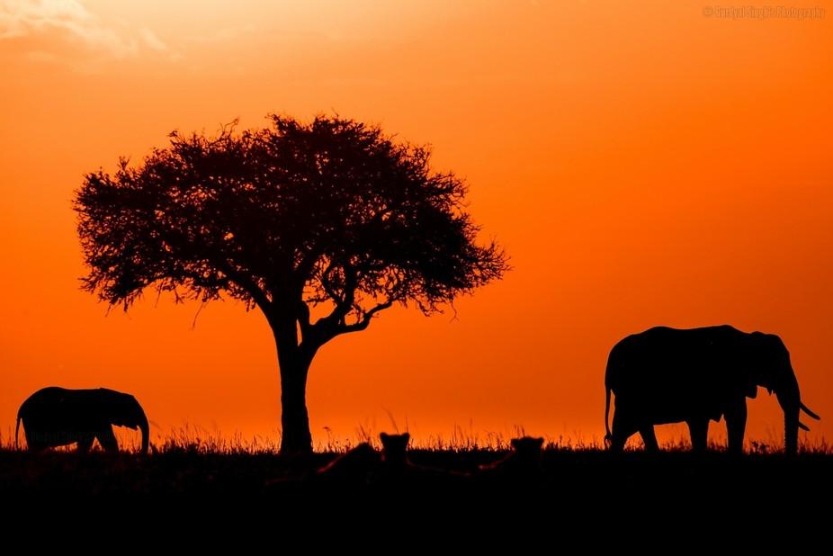 Elephants walking besides Acacia tree along while three cheetahs look over