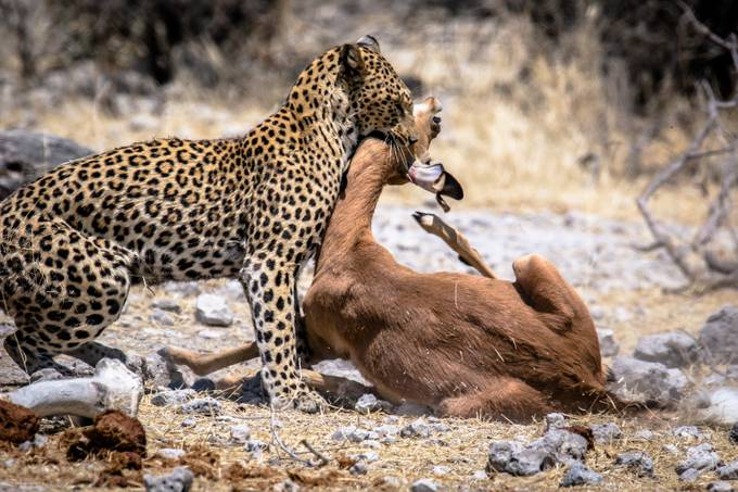 A Leopard with its prey by zistos - Food Chain Struggles Photo Contest