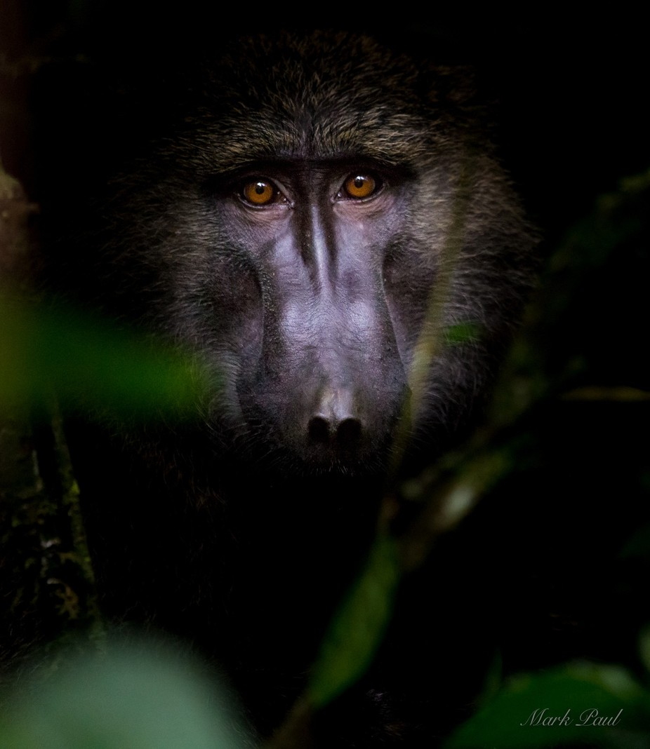 Olive Baboon by markpaul - Stunning POV Photo Contest