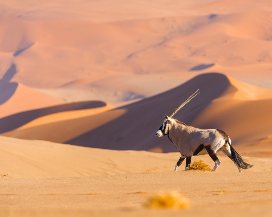 Oryx on the dunes of Sossusvlei, Namibia, early in the morning.  I spied this oryx from some way ...