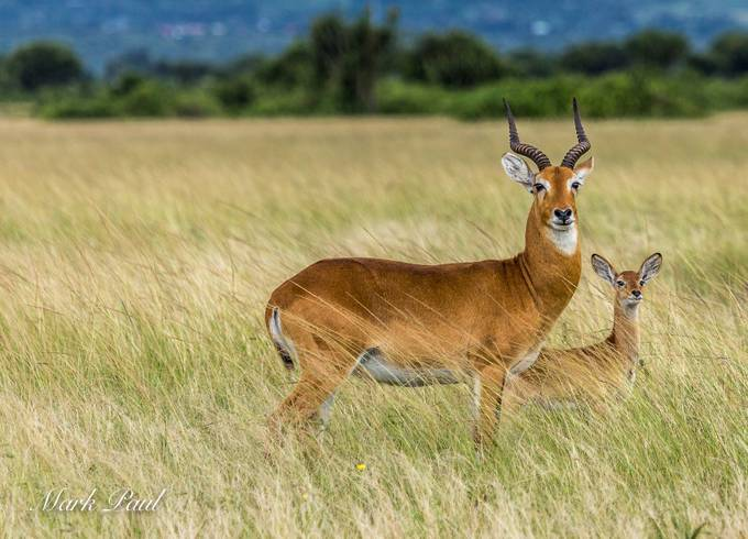 Uganda Kob by markpaul - Covers Photo Contest Vol 44