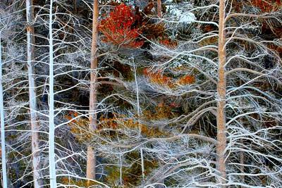 WINTER TREES, YELLOWSTONE