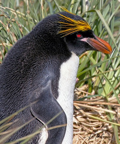 ROCKHOPPER PENGUIN, FALKLANDS