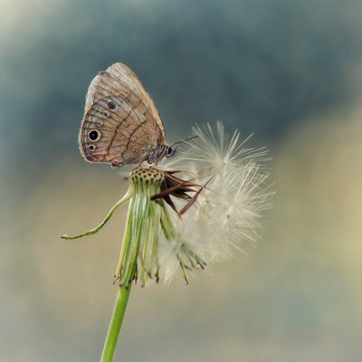 Pygmy Blue
