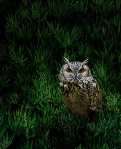 Owl in a bush
