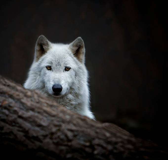 Lakota Wolf Stare Down by BernadetteL - Covers Photo Contest Vol 43