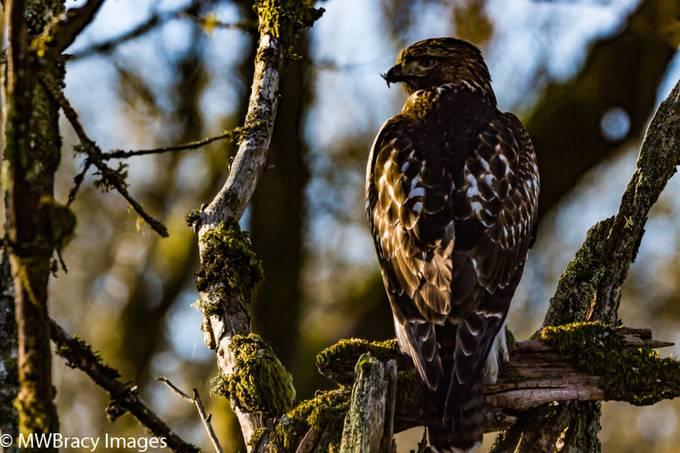 Hawk with bug