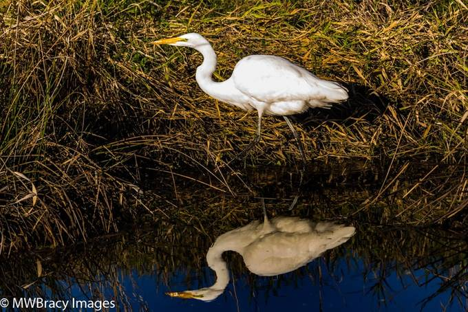 Egret reflecting