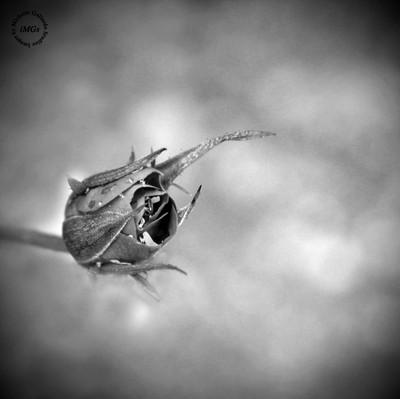 BW_Rose minimalism