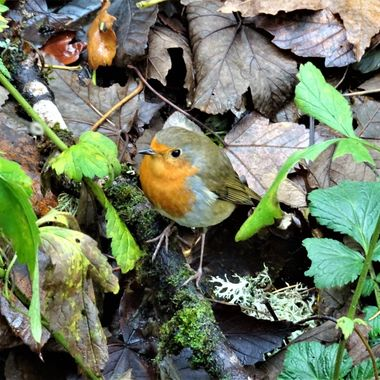 On a Autumn walk love the way this robin blends into the Autumn Leaves