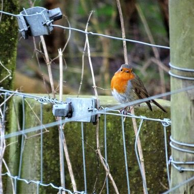 Visit to Loch Leven loved this Robin caught my eye perched on a fence liked all the detail on the fence.