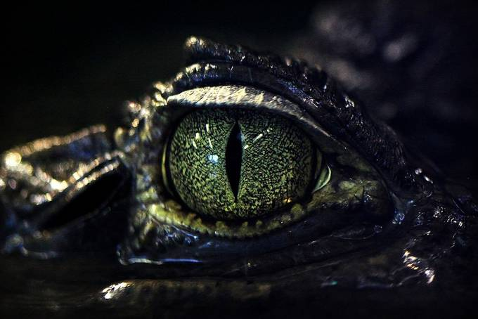 Cayman Eye  by steoleary - Reptiles Photo Contest