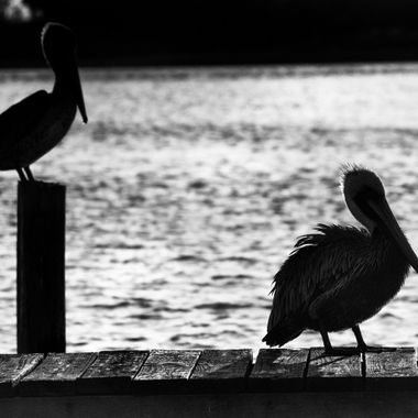 Silhouette of pelicans in black and white