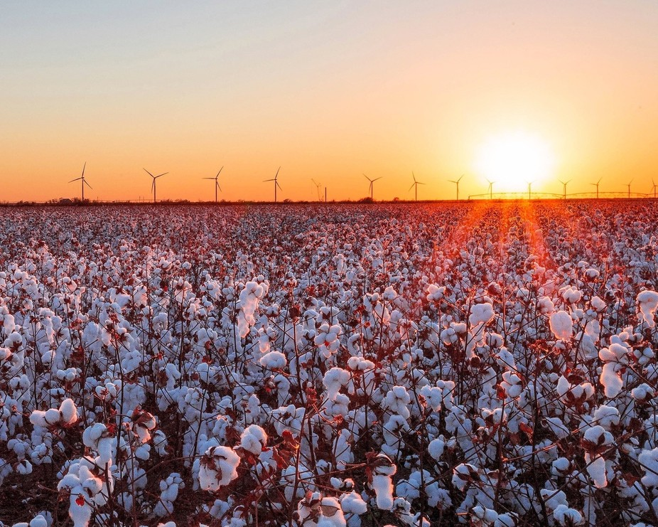 Cotton Field in Baylor County, Texas