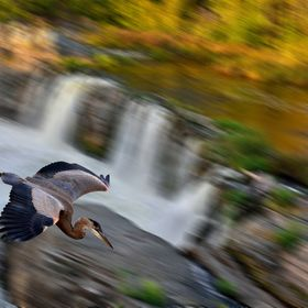 A great blue heron flying across the waterfall