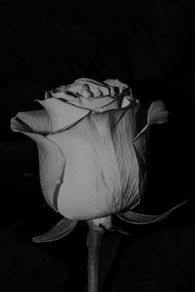 Yellow Rose B&W