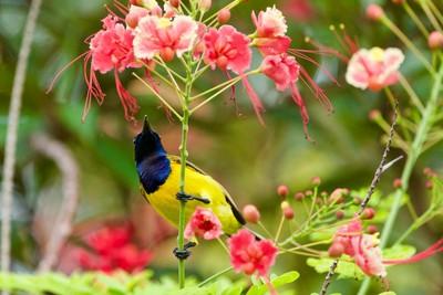 Olive-backed Sunbird.