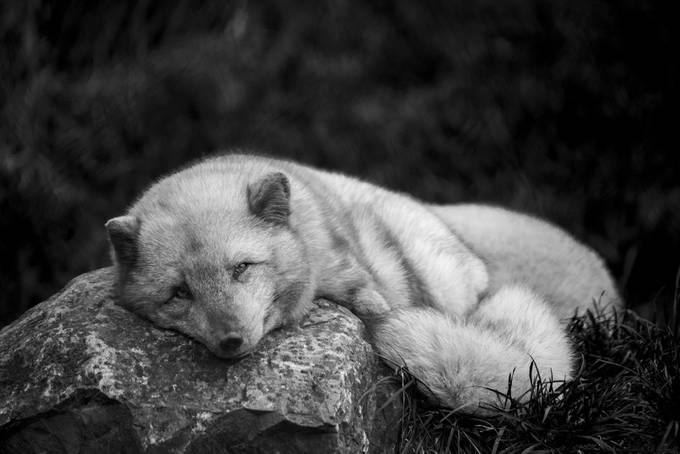 white fox by RawBirdPhotos - Everything In Black And White Photo Contest
