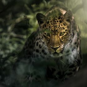 one of the most endangered animals on earth - amur leopards  This is not wildlife!!!