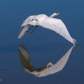 As this White Egret left the shoreline, It's wingtip touched it's reflection on the calm water!