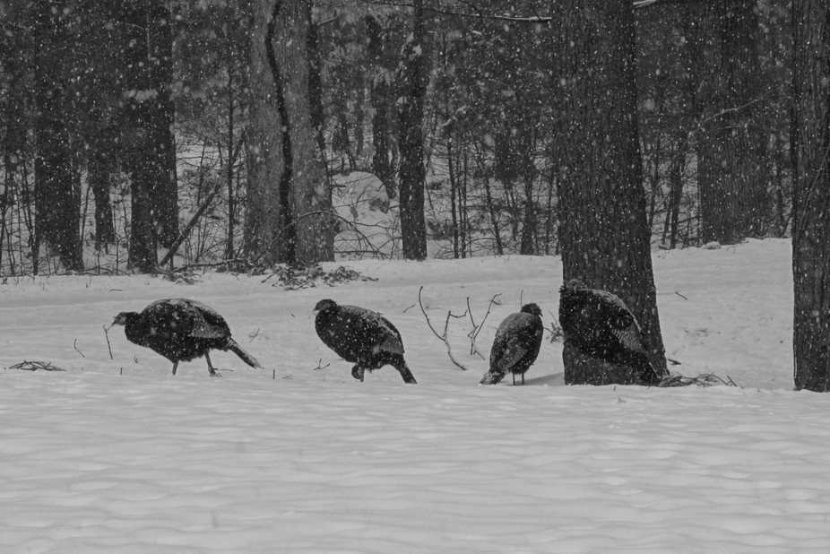 I took this picture of Turkeys in the snow from my front porch. What I like about this picture is...