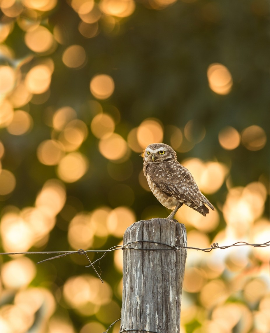 Burrowing owl by vladcech - Monthly Pro Vol 37 Photo Contest