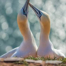 Nesting Northern gannets - Helgoland, Germany