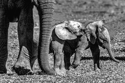 Baby Elephant twins play on the African grass fields,
