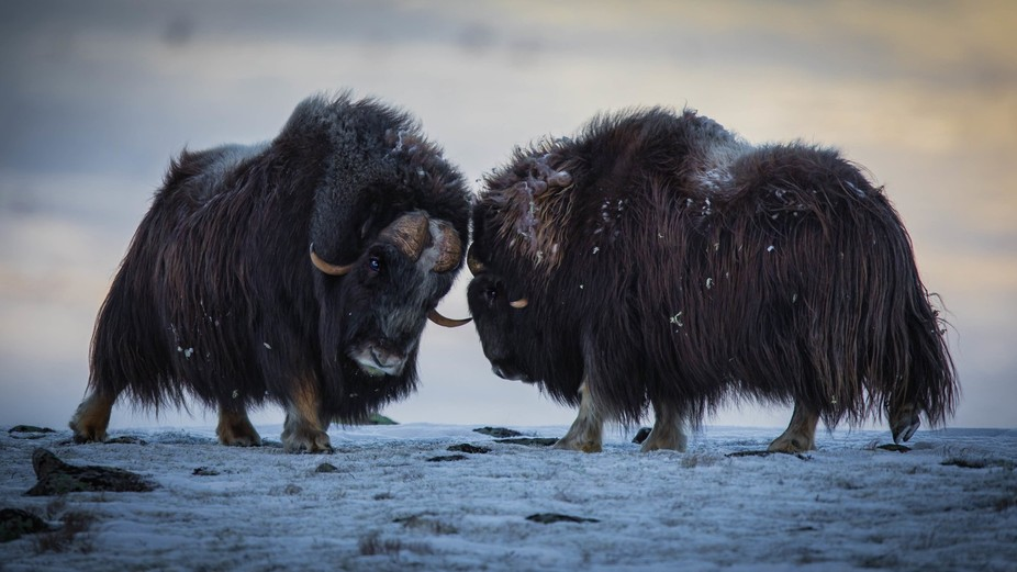 Musk Ox bulls, Hjerkinn towards Snøhetta, Norway, 29 November 2017