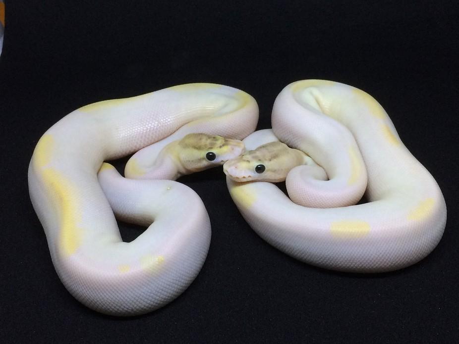 E6294ECF-A269-4ivory pied ball pythons 168-8B39-B59048D34D68
