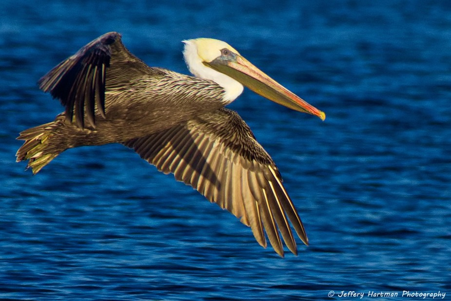 Pelican morning-4