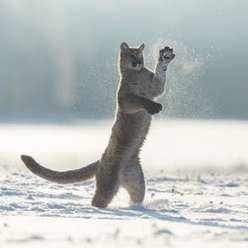 Puma playing with snow