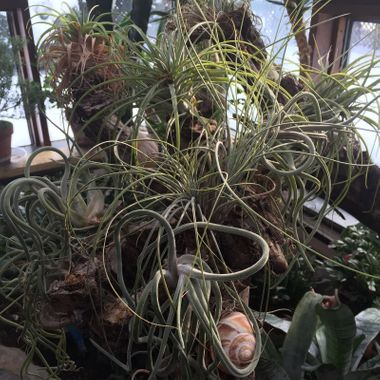 A few air plants in our solarium