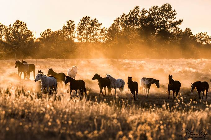 Mustangs Dusted at Sunset by DawnKey - Farms And Barns Animals Photo Contest