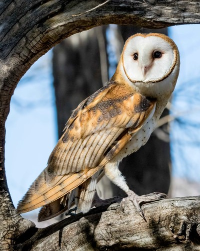 Barn Owl Framed