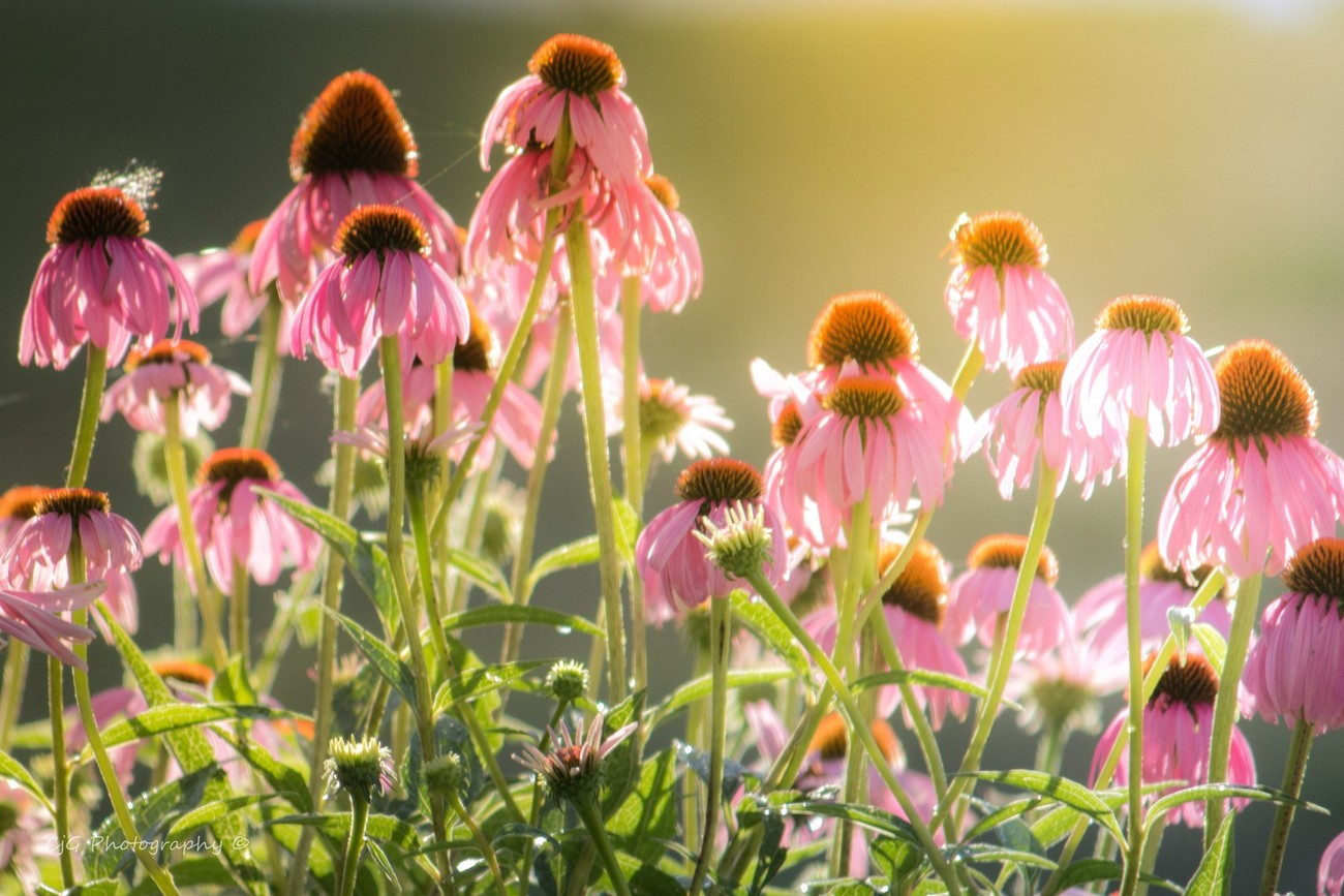 Coneflowers in the Morning Sun