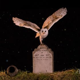 barn owl in cemetery