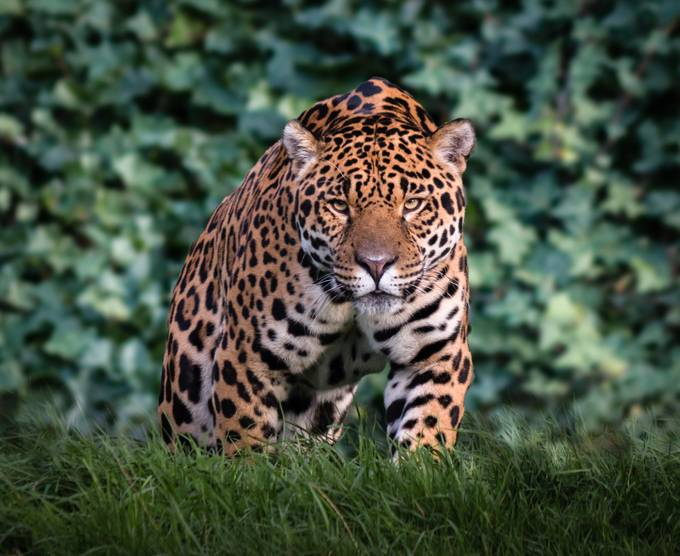 Stalking Jaguar by Bjammin - Covers Photo Contest Vol 43