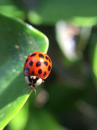 ladybug macro with iPhone