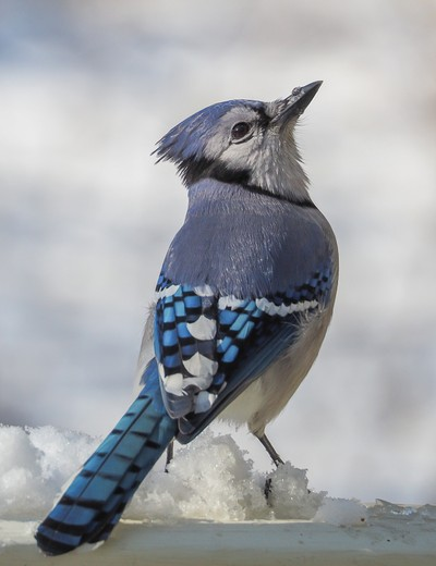 Winter Jay 4