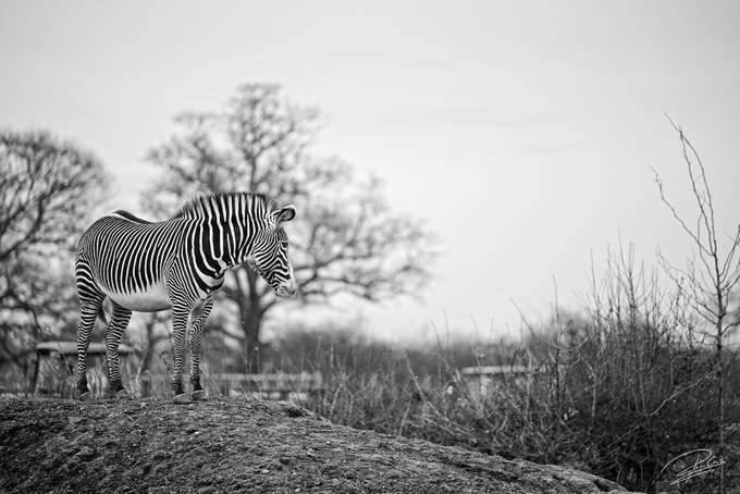 zebra by pacocruz - Monthly Pro Vol 38 Photo Contest