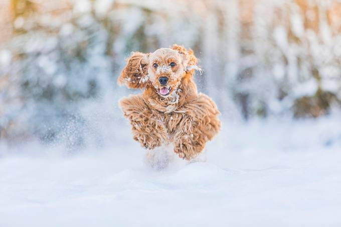 Ralph The Snow Cocker by SOVisualSam - Only Pets Photo Contest