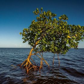 Seating all by itself just about one hundred feet from the Everglades Gulf Coast shore line is this mangrove tree trying to produce it's own...