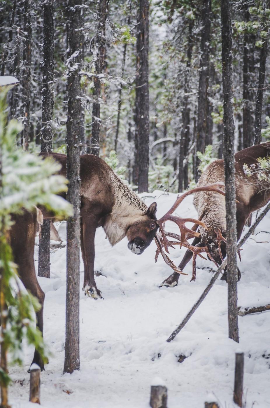 Rare Woodland Caribou Sparring by kailamariewalton - Winter Wildlife Photo Contest